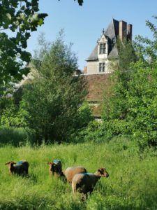 Chateau de Fougères sur Bièvre et brebis solognote.